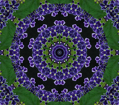 New Flower Kaleidoscope (pudaniel) Tags: psp kaleidoscope kaleidoscopes kaleidoscopesonly