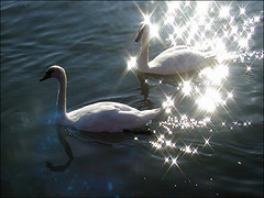 Twinkle, twinkle little ... swan (sandge) Tags: uk light sea england sunlight reflection bird digital sussex coast seaside swans seafront animalplanet littlehampton feathery payitforward title2 title3 interestingness29 i500 title1 titleit scoreme41 judgmentday54 agfaephoto1280 cotcmostfavorites