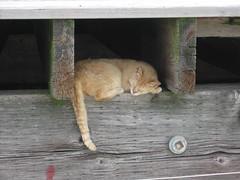Boardwalk Cat (iirraa) Tags: new city cats cute cat newjersey nj atlantic atlanticcity jersey boardwalk