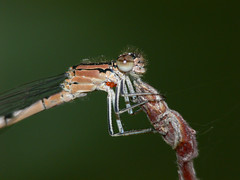Damselfly with Mite Parasites - by BugMan50