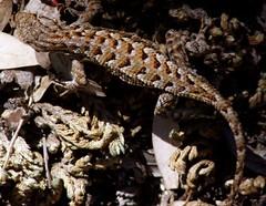 20060702 Lizard