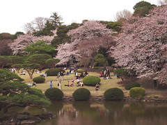 shinjuku gyoen (michenv) Tags: pink flowers flower reflection 2004 japan pine digital tokyo japanesegarden interestingness spring pond shinjuku asia azaleas blossom blossoms michelle olympus explore  cherryblossom  sakura exploreinterestingness cherryblossoms nippon   digitalcamera  orient camedia   springflowers nihon hanami shinjukugyoen digitalphotos digitalphotography olympuscamedia camediaseries   osanpocamera   cherryblossomviewing  fullbloom photosfromtokyo  flickrtoday  i500 interestingness477 olympusdigital  theworldthroughmyeyes twtme tokyoimages olympusc50z michenv explore02jul06 olympusx2 michenv2004  michenvexplore