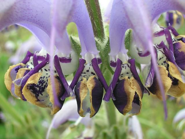 מרווה כחולה - Salvia Indica - Blue Sage