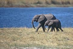 Step by step… steadily ♫♫ (bocavermelha-l.b.) Tags: 2 film feeling tc20eii loxodonta–africana itsong–invite arkofwildlife itsong–wildafrica itsong–nikonf5 80200mmf28d twobytwo wildlifephotography motherandcalf inafrica wildlifeafrica elephantpace strongbonding chobe–botsuwana inserondella animalkingdomelite shootingwithnikonf5