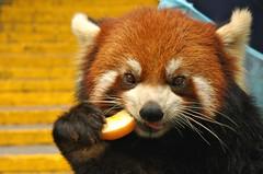 Eating an apple (Pat Rioux) Tags: china bear panda chengdu sichuan