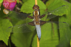 "Broad-Bodied Chaser (libellula depres(2) • <a style=""font-size:0.8em;"" href=""http://www.flickr.com/photos/57024565@N00/187221362/"" target=""_blank"">View on Flickr</a>"