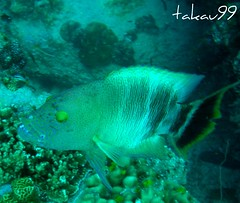 Tripletail Wrasse at Koh Tao Island, Thailand