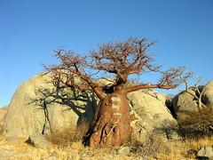Baobab (Makgobokgobo) Tags: africa tree botswana baobab makgadikgadi adansonia lekhubu kubuisland suapan adansoniadigitata
