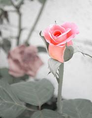 Nacimiento (_Zahira_) Tags: pink flower color lafotodelasemana flor rosa nd desaturación 100vistas interestingness30 i500 lfs072006 ltytrx5 ltytr1 top20pink