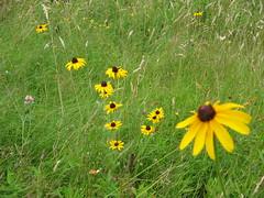 blackeyedsusans.JPG (inkandpen) Tags: summer meadow wildflower blackeyedsusan