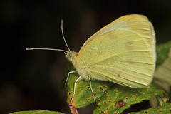 """Small White Butterfly (pieris rapae)(2) • <a style=""""font-size:0.8em;"""" href=""""http://www.flickr.com/photos/57024565@N00/193367977/"""" target=""""_blank"""">View on Flickr</a>"""