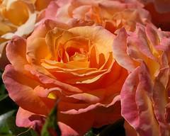 Rose Ruffles (Pink Hibiscus) Tags: rose oregon d50 portland nikon nikond50 explore rosegarden allrightsreserved copyrighted iloveit interestingness162 i500 pinkhibiscus 1on1flowers explore19july06