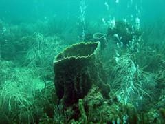 Barrel Sponge (Ali Onur) Tags: colombia scuba buceo busne kolombiya islafuerte clubdeorcas