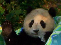 Hi everyone!  Thanks for coming! (desbah) Tags: zoo panda taishan