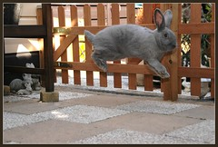 JORIS JUMP (Jan2eke) Tags: pet pets rabbit bunny bunnies fly flying jump jumping nikon konijn d70s rabbits binky joris konijnen