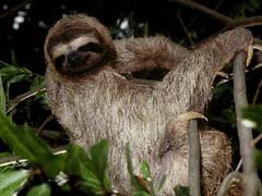 _Sloth_