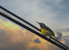 Bird On A Wire (Flipped Out) Tags: bird birds philippines aklan olivebackedsunbird cinnyrisjugularis