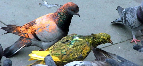 Multi Coloured Pigeons - NY, NY - Nov 2004