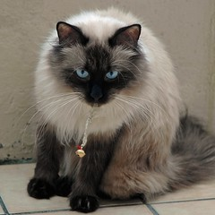 Herald the weekend! (Buntekuh) Tags: cats pets animals funny blueeyes gatos katzen nevamasquerade siberiancat buntekuh