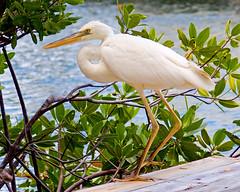 Great White Heron (key lime pie yumyum) Tags: white bird heron water delete9 delete5 delete2 delete6 delete7 like save3 delete8 delete3 delete delete4 save save2 save4 everglades keywest quack greatblueheron quackquack whitemorph quacks greatwhiteheron aduck delete10slowburn sorryklp