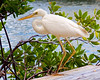 Great White Heron (key lime pie yumyum) Tags: white bird heron water delete9 delete5 delete2 delete6 delete7 like save3 delete8 delete3 delete delete4 save save2 save4 everglades keywest quack greatblueheron quackquack whitemorph quacks greatwhiteheron aduck delete10slowburn sorryklp