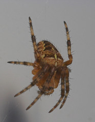 "Garden Cross Spider (Araneus diadema(17) • <a style=""font-size:0.8em;"" href=""http://www.flickr.com/photos/57024565@N00/201686811/"" target=""_blank"">View on Flickr</a>"
