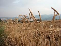 Rests of the harvest (drachenspinne) Tags: harvest f11