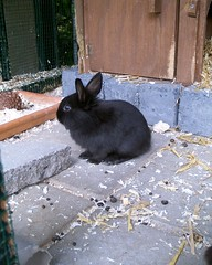 black baby rabbit (ksvrbrg) Tags: blackie babyrabbit