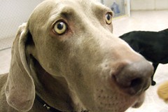 Facetime With Manfred (Back in the Pack) Tags: dog calgary dogs face closeup puppy nose eyes ears weimaraner manfred facetime weim dogdaycare softest wwwdogdaycareca wwwbackinthepackca albertabarks