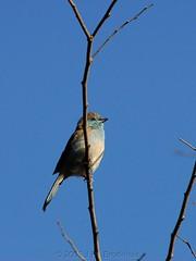 Dozy (Makgobokgobo) Tags: africa bird garden gaborone botswana waxbill bluewaxbill uraeginthusangolensis bluebreastedcordonbleu uraeginthus rabiibii