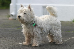 060805-1219-41 (Wei) Tags: dog westie terrier olly august2006