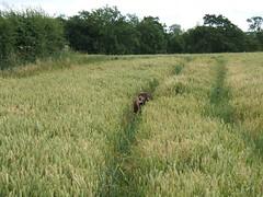 Taking Max for a walk (mikestuartwood) Tags: dog labrador chocolatelabrador