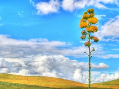 Zacatecas Landscape (Tiquis!) Tags: flowers colors landscape mexico awesome olympus zacatecas agave hdr maguey mezcal zd photomatix 40150mm tophdr ilikethisphoto anyhdranyphotoshop anyhdranyps invitedphotosonlyahap
