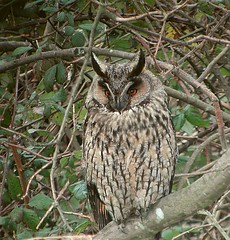 Long-eared Owl (suerob) Tags: nikon scope rye coolpix longearedowl digiscope asiootus e885 animalkingdomelite swarovskiatshd65