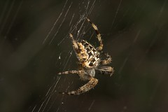 "Garden Cross Spider (Araneus diadema(15) • <a style=""font-size:0.8em;"" href=""http://www.flickr.com/photos/57024565@N00/218390646/"" target=""_blank"">View on Flickr</a>"