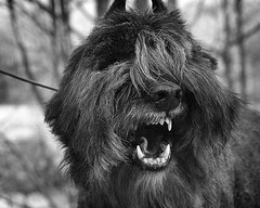 Here's the leader (Piotr Organa) Tags: portrait bw dog pet pets white toronto canada black dogs face animal animals portraits nose nikon bokeh d70s adorable professional bouvier bokehsoniceseptember bokehsoniceseptember13 pet500 pet1000