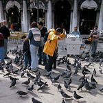 Pigeons attacking