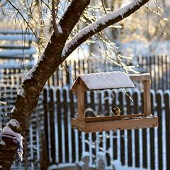 Visitors - Great tit (Zsofia Nagy) Tags: naturallight flickrlounge weeklytheme greattit bird feeder birdfeeder d3100 dof depthoffield bokeh winter garden tree fence bright shine
