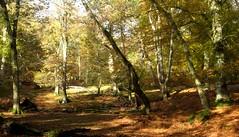 New Forest NP, Hampshire, England (east med wanderer) Tags: england uk hampshire newforestnationalpark woodland forest lyndhurst markashwood beech oak bracken worldtrekker