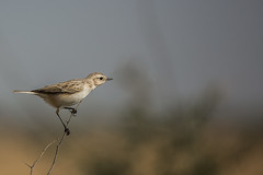 White-browed Bushchat (Jnarin) Tags: 1animal animalthemes bird bushchat canonef100400mmf4556lusmis canoneos5dmarkiii colorimage differentialfocus fulllength greaterrannofkutch gujarat gujarattourism indianwildlife kutch muscicapidae nature niranjvaidyanathanbirdphotography nopeople outdoors saxicolamacrorhynchus stoliczkasbushchat whitebrowedbushchat wildlifephotography grk bannigrassland grassland banni