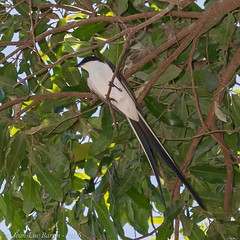 Fork-tailed Flycatcher (Tyrannus savana) (Jeluba) Tags: 2016 brazil brésil canon forktailedflycatcher gabelschwanzkönigstyrann matogrosso pantanal tyrandessavanes tyrannussavana aves bird birdwatching nature oiseau ornithology wildlife neotropical square carré