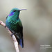 Green Violetear, Colibri thalassinus