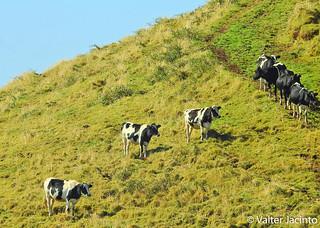 Vacas // Cows in Azores