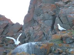 glaucous gulls, Tay Bay, Bylot Island (Ward & Karen) Tags: arctic bylotisland
