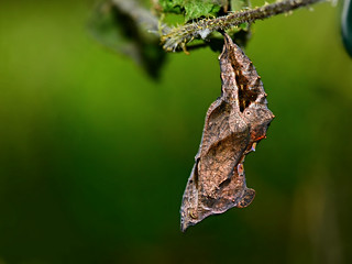 Comma (Polygonia c-album) chrysalis
