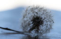 All Of My Wishes (Captured Heart) Tags: wonder hope still waiting softness dandelion dreams wishes imagine delicate stillness patience possibilities dandelionseeds