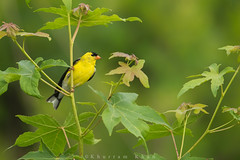 All that glitters... (Khurram Khan...) Tags: nature ilovenature wildlife goldfinch ngc americangoldfinch songbirds naturephotography naturephotos wildlifephotography ilovewildlife iamnikon khurramk khurramkhan