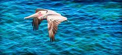Da Vinci's Dream (quicklyslowly) Tags: california pelicans water la san sony diego pelican southern socal jolla a7r