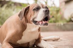 Nina (Vinicius_Ldna) Tags: brazil dog pet love canon 50mm dof bokeh naturallight boxer nina care caress londrina 8071