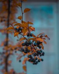 Muted berries I (Birgit F) Tags: oktober lensbaby 2015 gjerstad fotobirgitfostervold egelandsjernverk eikelandverk lensbirdiecom lensbirdie